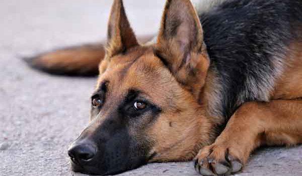 garde chien 1 mois