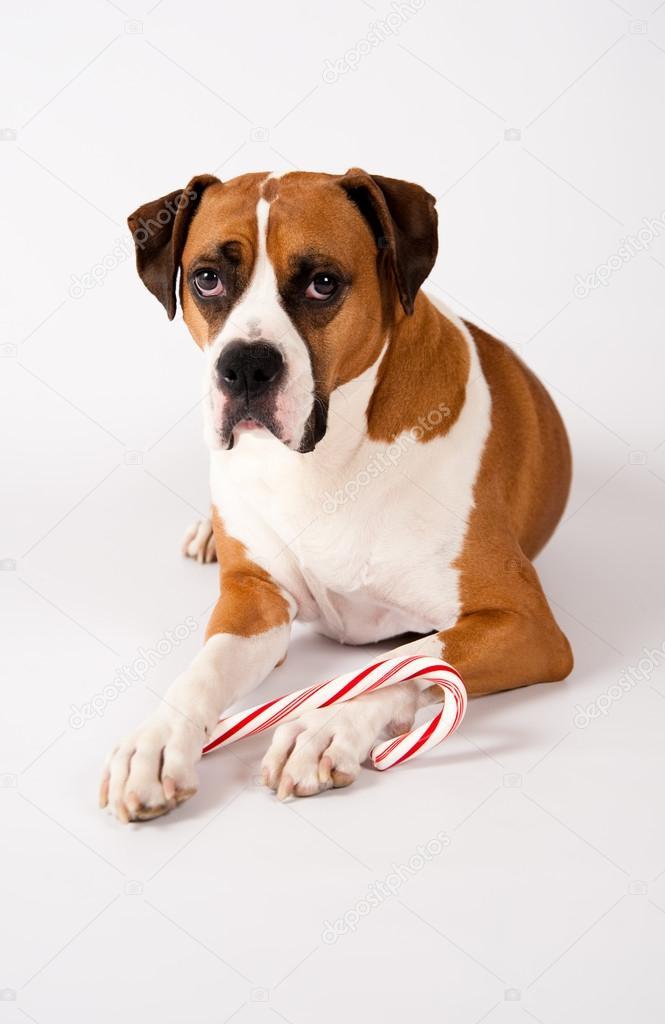 garde chien noel