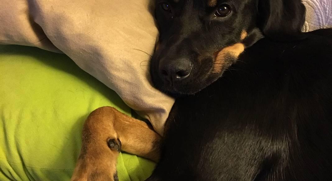 garde chien saint raphael